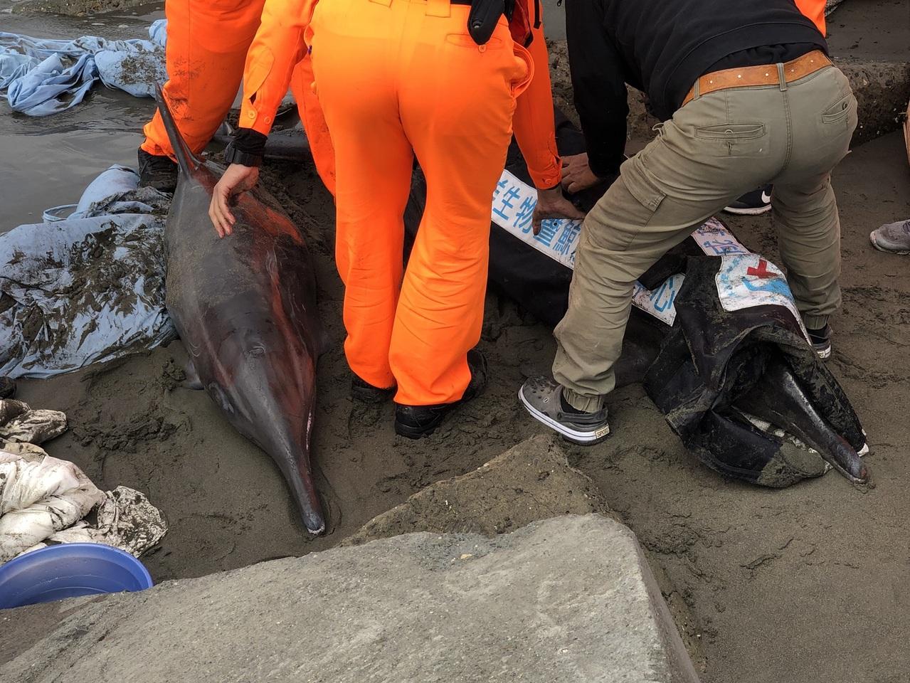 黃金海岸3隻海豚擱淺 生命跡象穩定