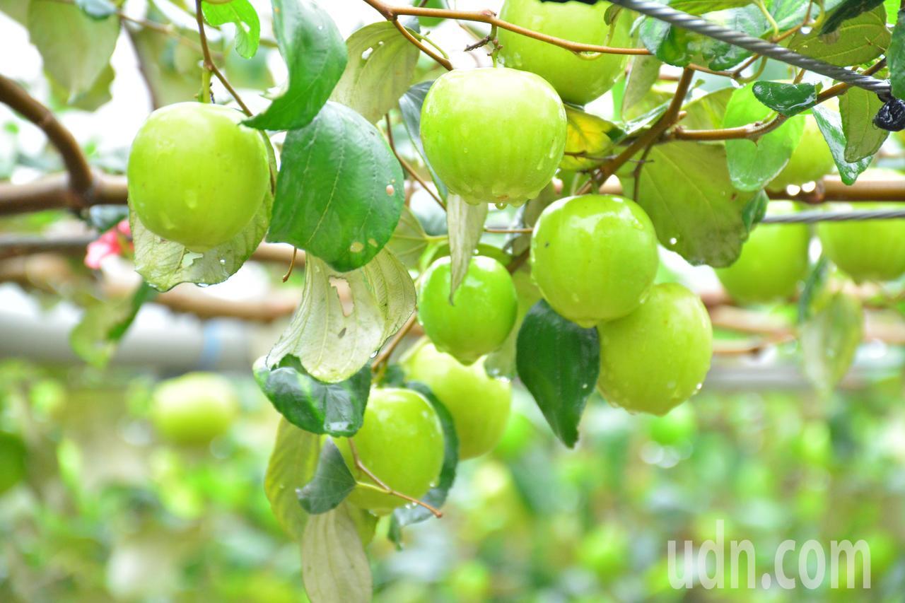 牛奶蜜棗升級版 梅嶺農民種出黃金蜜棗