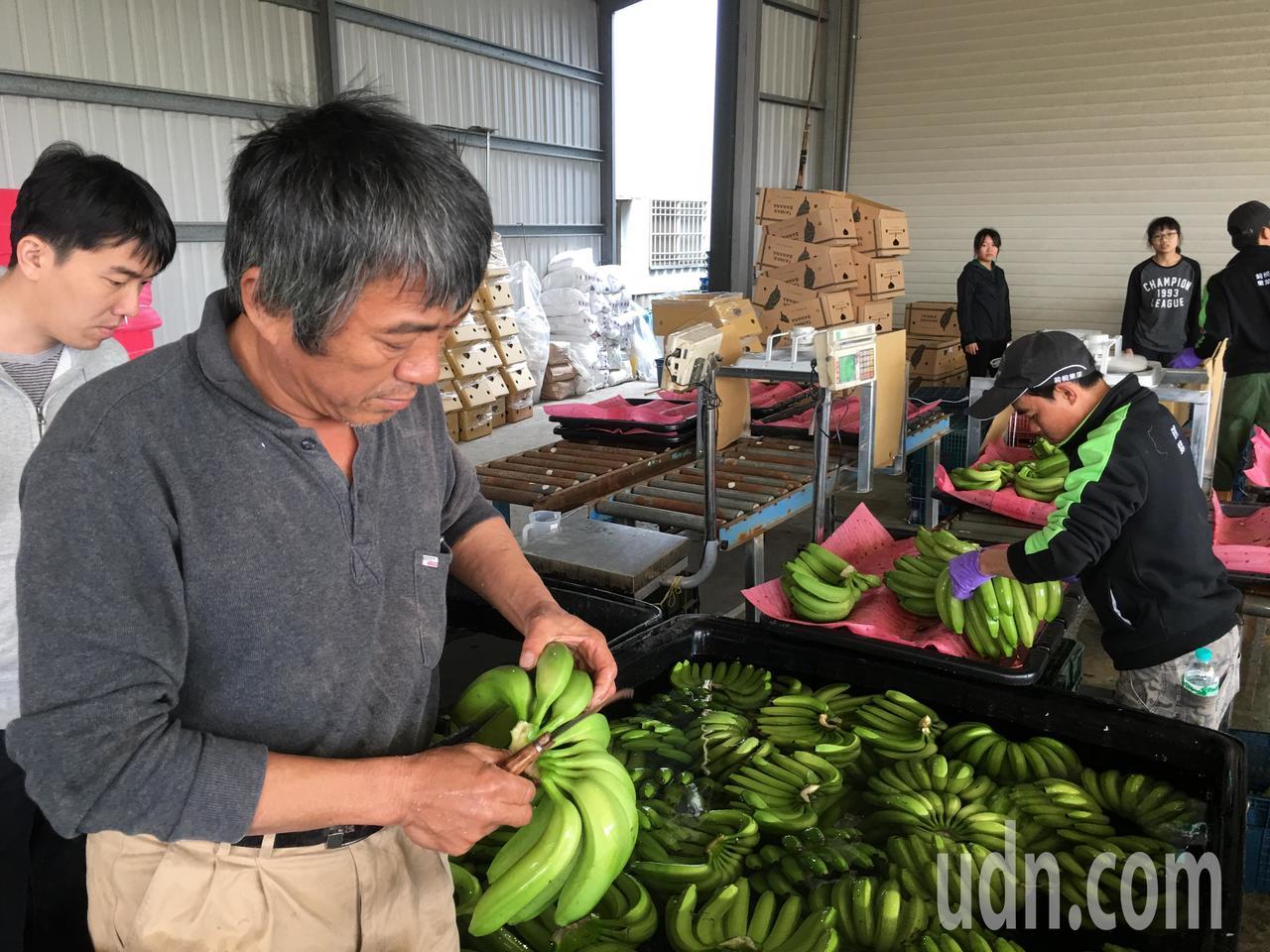 日本指定 雲林「烏龍」黃金蕉進軍東洋