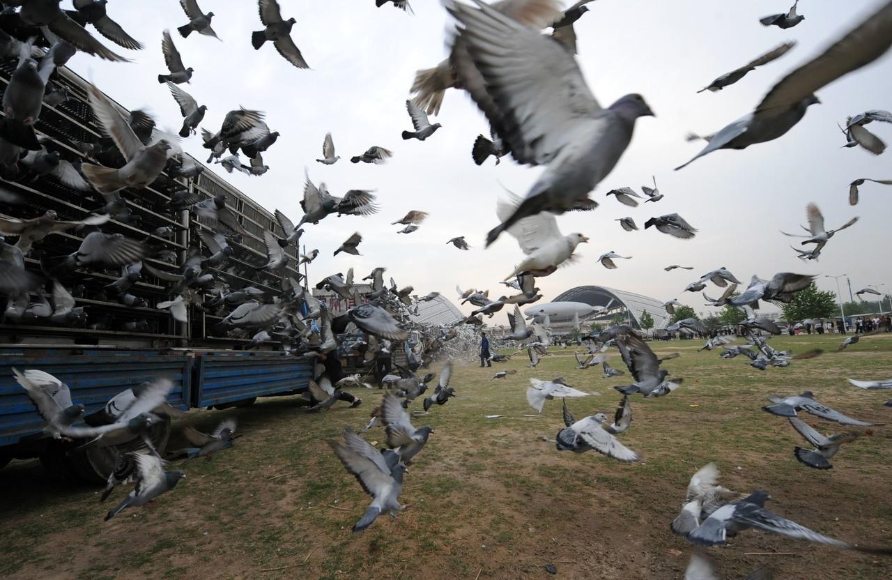 返家路遙遙:賽鴿是台灣之光,還是非法博弈? | 動物當代思潮| 鳴人堂