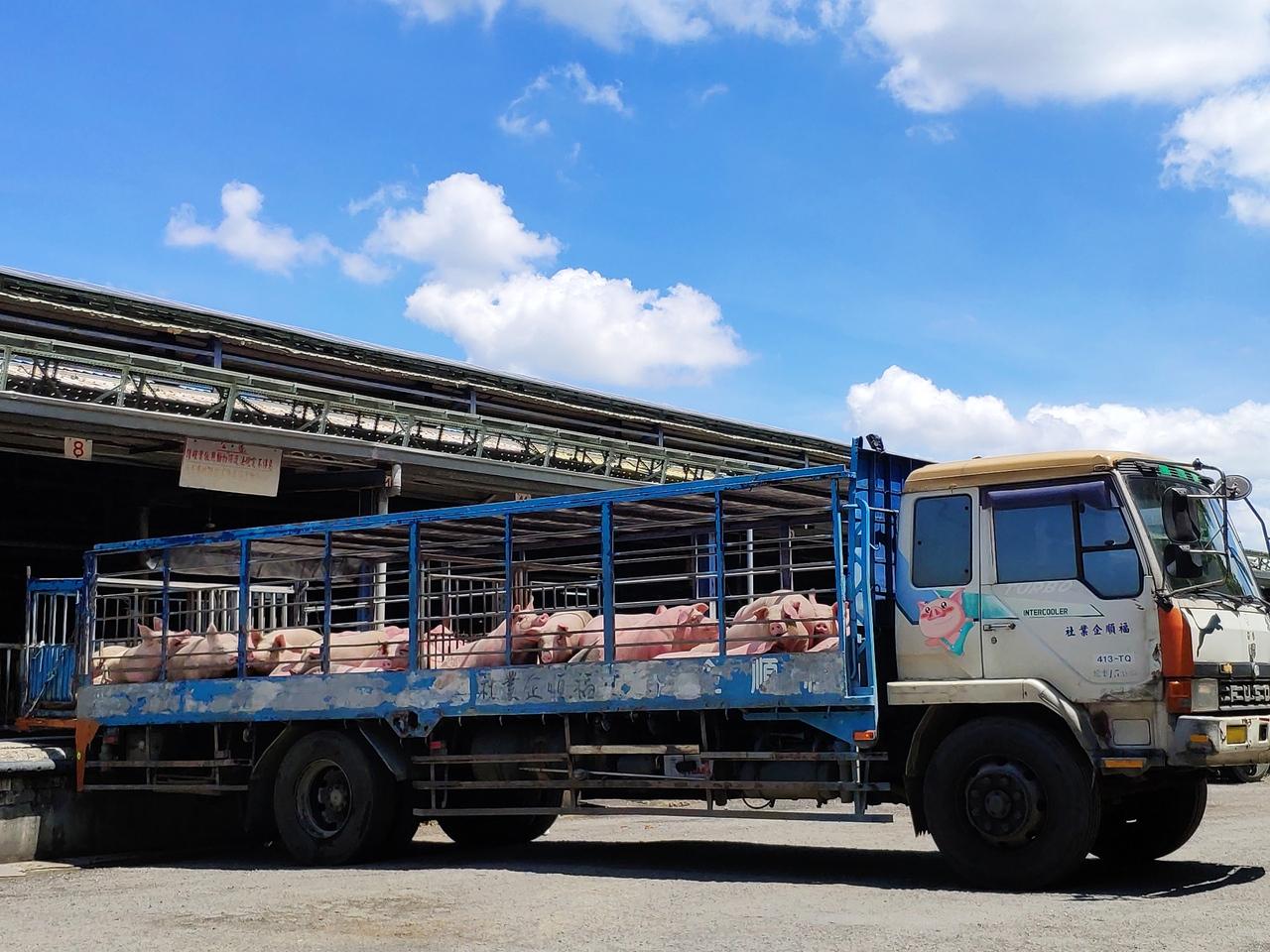 增產代價高 台灣豬難打國際盃