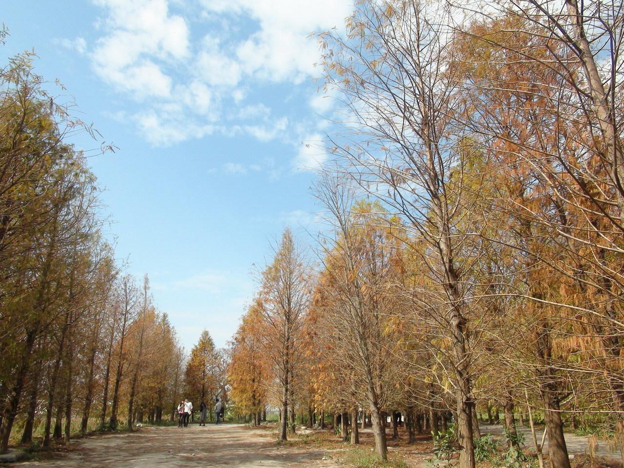 秋天網美秘境,台中追「落羽松」感受秋意氛圍   橘世代