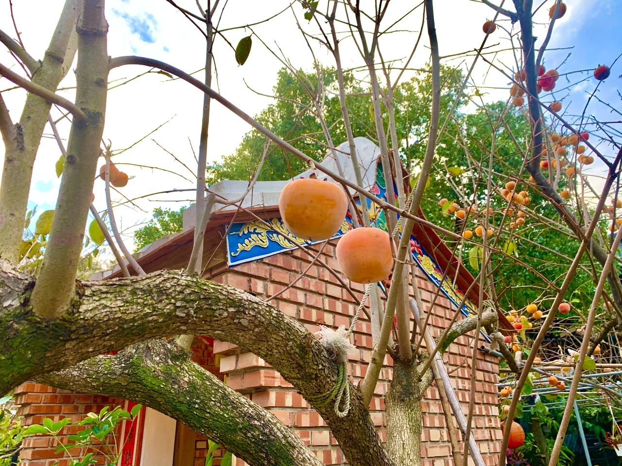 九降風起的金黃寶藏 新埔柿餅蘊含的美味秘密 | 橘世代