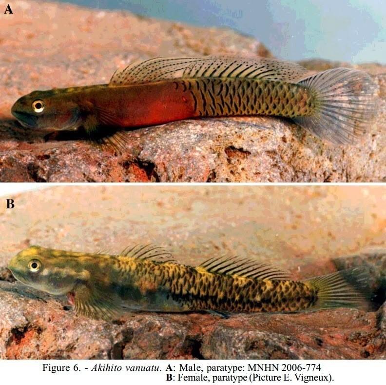 為紀念日本明仁天皇而命名的萬那杜明仁鰕虎魚。圖/ E. Vigneu