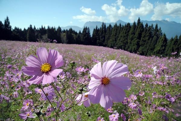 福壽山農場波斯菊,一片粉紅色花海開滿山谷。記者陳易辰/攝影