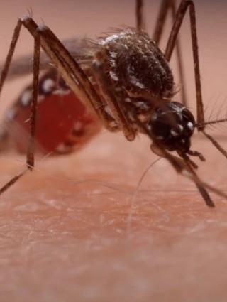 影/超近距看埃及斑蚊 最強病媒產卵懂得分散風險