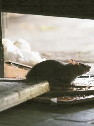 城市這種鼠15%帶漢他病毒 見鼠蹤快這樣做