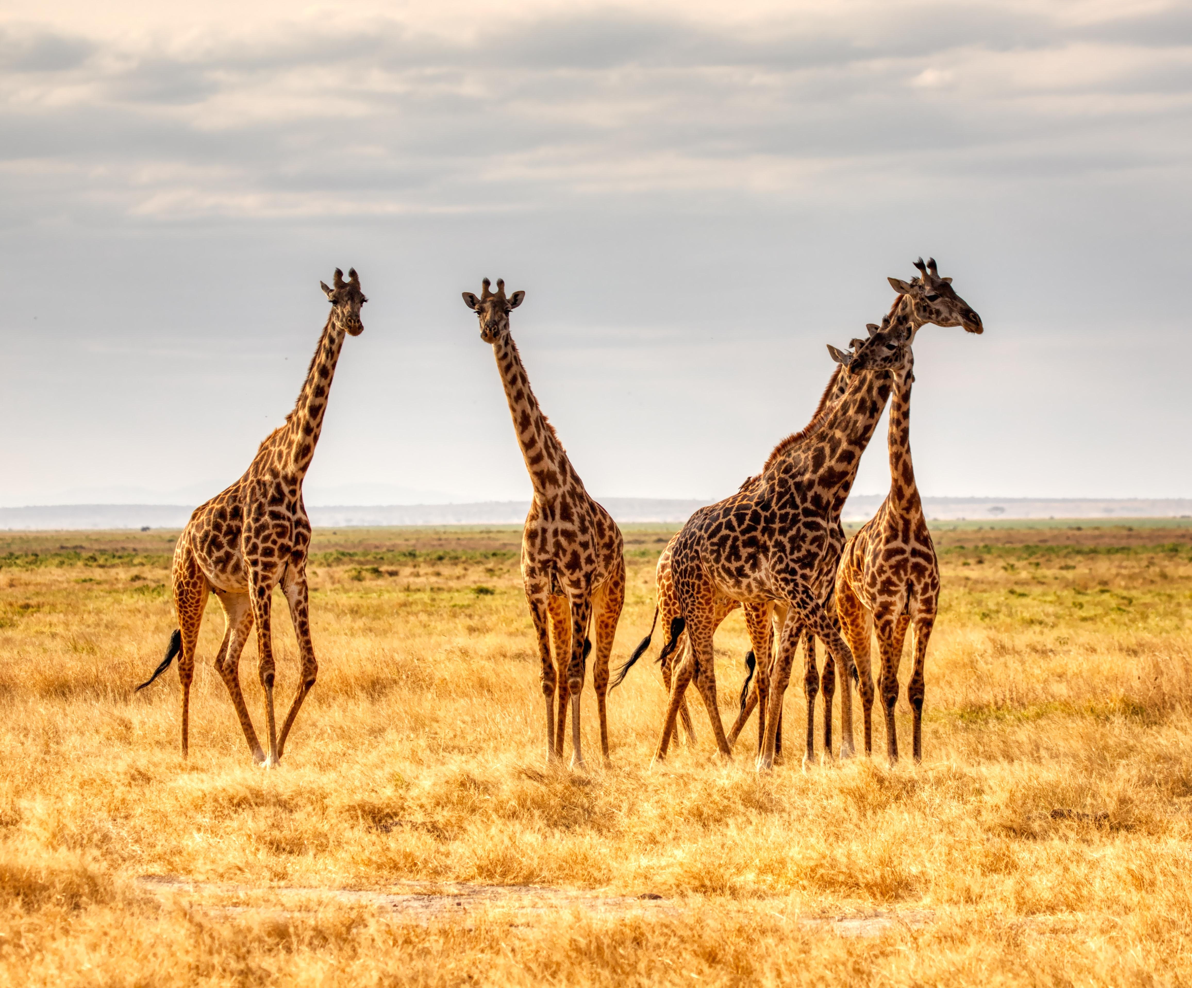 讓長頸鹿留在家鄉非洲-台灣「頑皮世界」終止引進